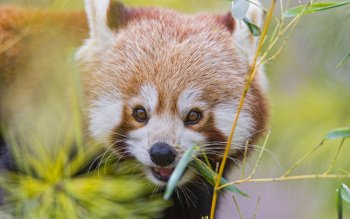 Animal - Red Panda Wallpapers and Backgrounds ID : 421962