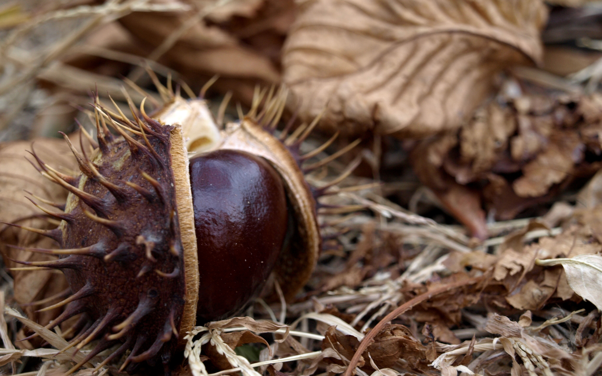 14 chestnut hd wallpapers backgrounds wallpaper abyss for The chestnut