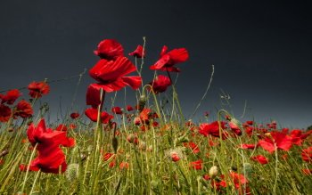 Earth - Poppy Wallpapers and Backgrounds ID : 422022