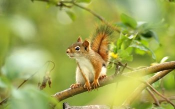 Animal - Squirrel Wallpapers and Backgrounds ID : 422716