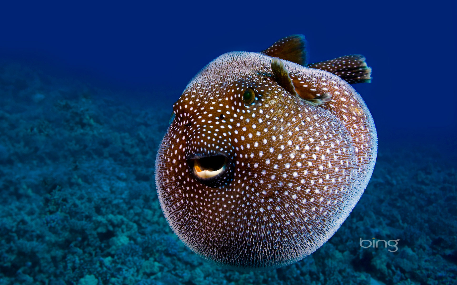 The happy pufferfish full hd wallpaper and background for Puffer fish images