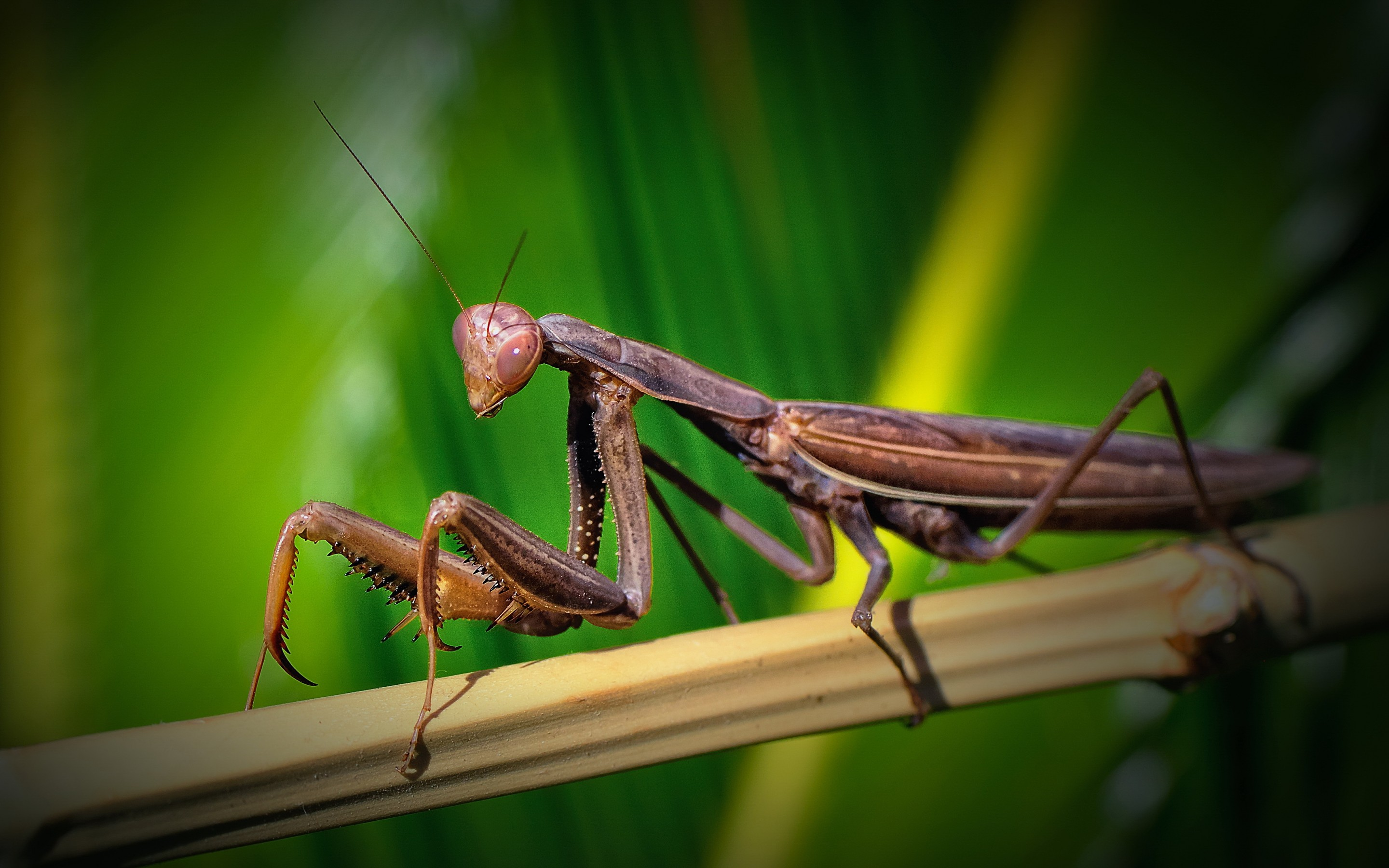 105 Praying Mantis HD Wallpapers | Backgrounds - Wallpaper Abyss