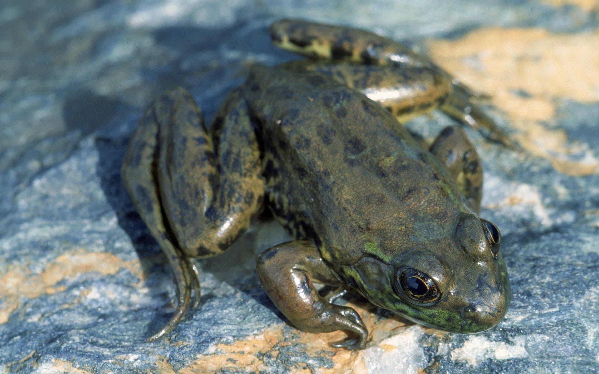 Animal - Frog  Wallpaper