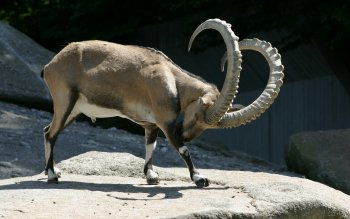 Animal - Big Horned Sheep Wallpapers and Backgrounds ID : 423069