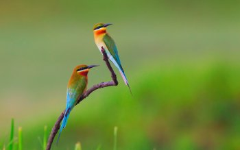 Animal - Golden Bee-eater Wallpapers and Backgrounds ID : 423579