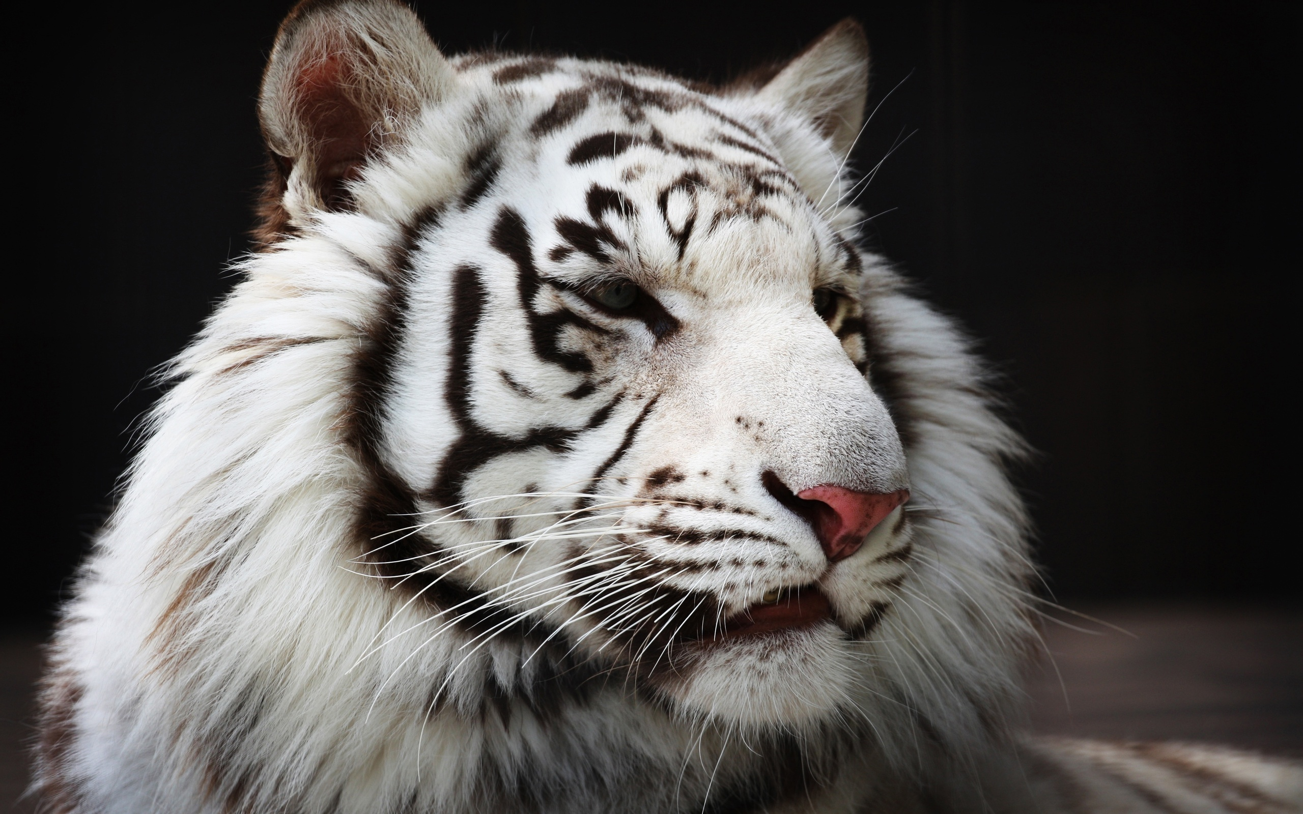 white tiger hd wallpaper background image 2560x1600 id 424018