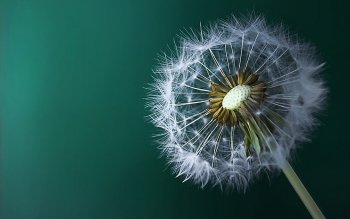 Earth - Dandelion Wallpapers and Backgrounds ID : 424029