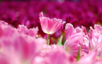 Earth - Tulip Wallpapers and Backgrounds ID : 424142