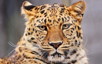 Animal - Leopard Wallpapers and Backgrounds ID : 424171