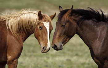 Animal - Horse Wallpapers and Backgrounds ID : 424271