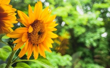 Earth - Sunflower Wallpapers and Backgrounds ID : 424844