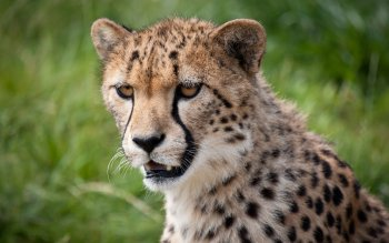 Animal - Cheetah Wallpapers and Backgrounds ID : 424849