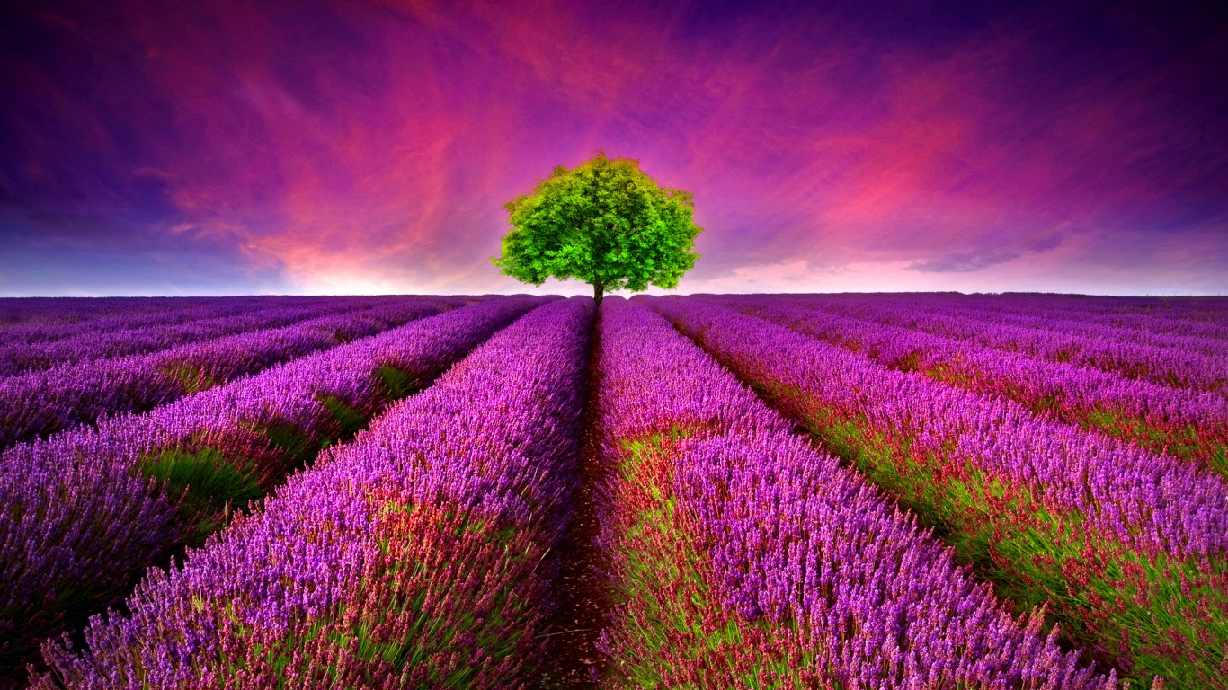 Rows Of Lavendar Wallpaper And Background Image 1366x768