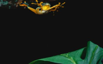 Animal - Tree Frog Wallpapers and Backgrounds ID : 425030