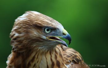 Animal - Eagle Wallpapers and Backgrounds ID : 425049