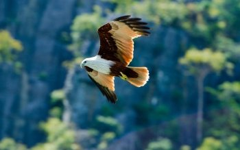 Animal - Eagle Wallpapers and Backgrounds ID : 425253