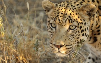 Animal - Leopard Wallpapers and Backgrounds ID : 425433