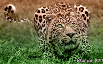 Animal - Leopard Wallpapers and Backgrounds ID : 425496