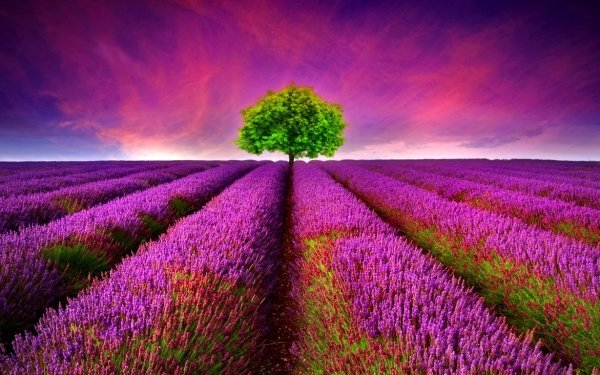 Earth Lavender Flowers Flower Photography HD Wallpaper | Background Image