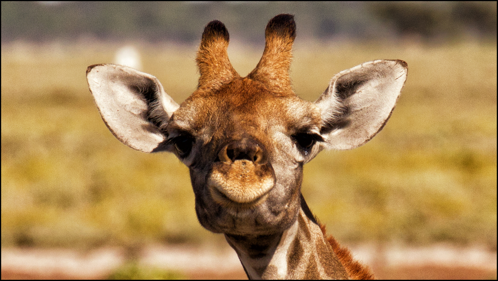 1920x1080 funny giraffe desktop - photo #4