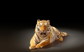 Djur - Tiger Wallpapers and Backgrounds ID : 426087