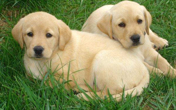 Animal Labrador Retriever Dogs HD Wallpaper | Background Image