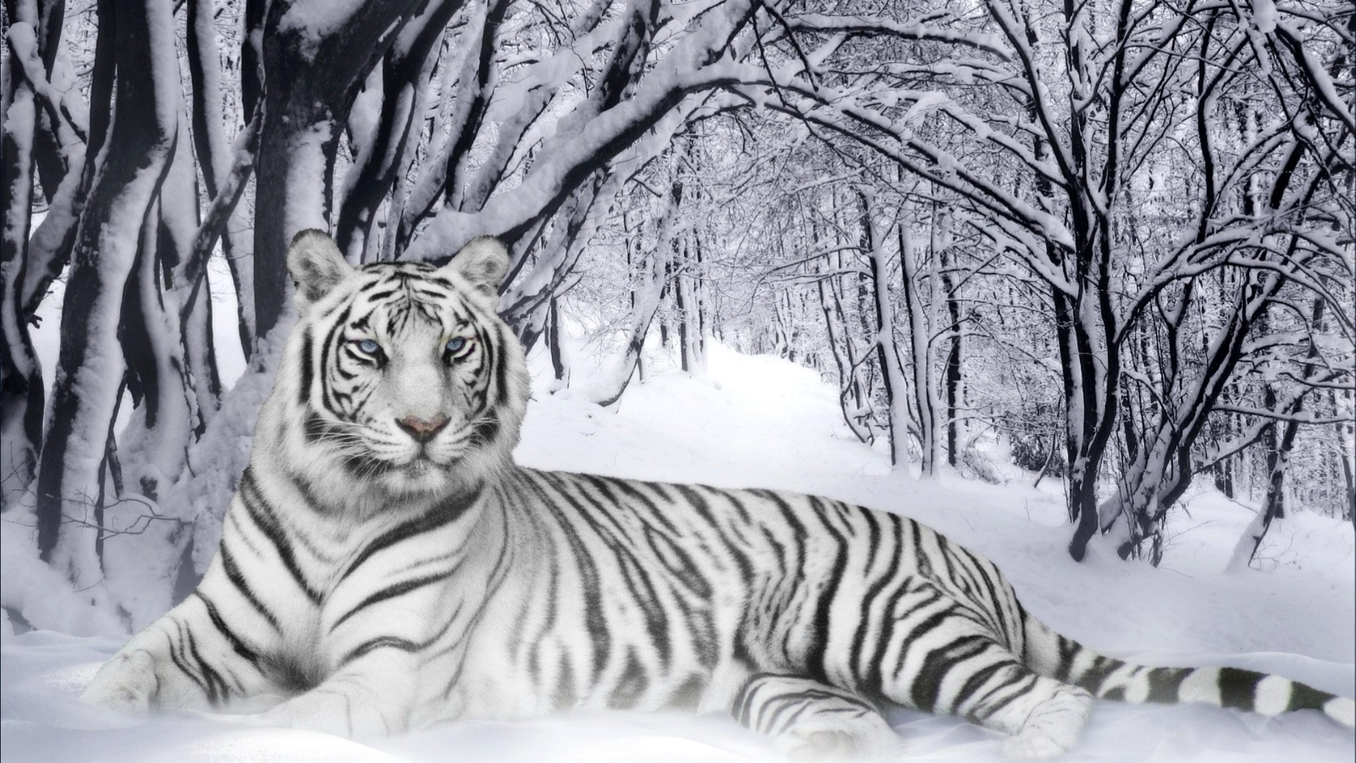 white tiger animal wallpaper - photo #4