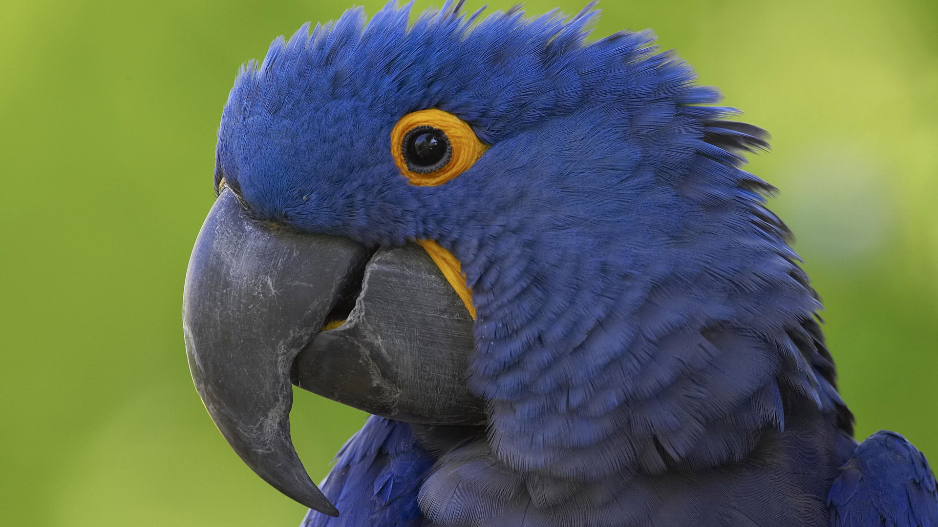 Hyacinth Macaw Full HD Wallpaper and Background Image ...