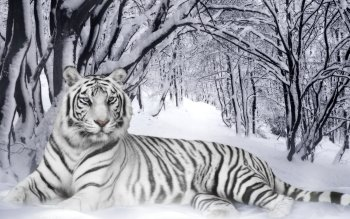 Dierenrijk - White Tiger Wallpapers and Backgrounds ID : 427455