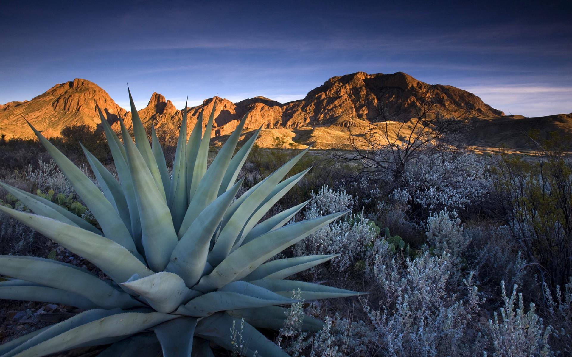 Blue Agave Tequila Plant aloe vera Full HD Fond...