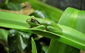 Animal - White Lipped Tree Frog Wallpapers and Backgrounds ID : 428316