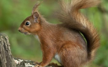 Animal - Squirrel Wallpapers and Backgrounds ID : 429298