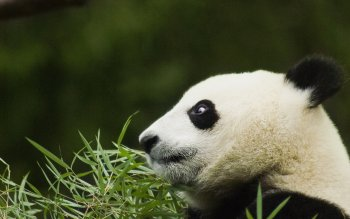 Animal - Panda Wallpapers and Backgrounds ID : 429536