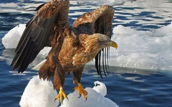 Animal - Eagle Wallpapers and Backgrounds ID : 429681