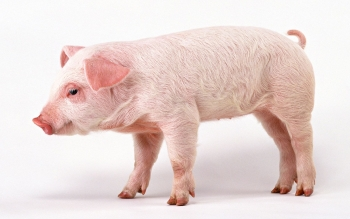 Animal - Pig Wallpapers and Backgrounds ID : 429959