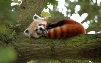 Animaux - Panda Roux Fonds d'écran et Arrière-plans ID : 430236