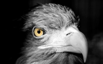 Animal - Eagle Wallpapers and Backgrounds ID : 430267