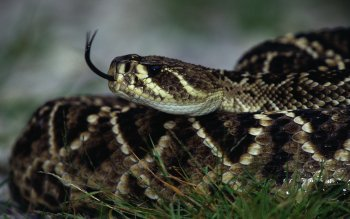 Animal - Snake Wallpapers and Backgrounds ID : 430557