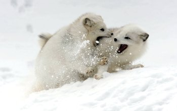 Animal - Arctic Fox Wallpapers and Backgrounds ID : 430945