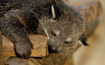 Animal - Binturong Wallpapers and Backgrounds ID : 430977