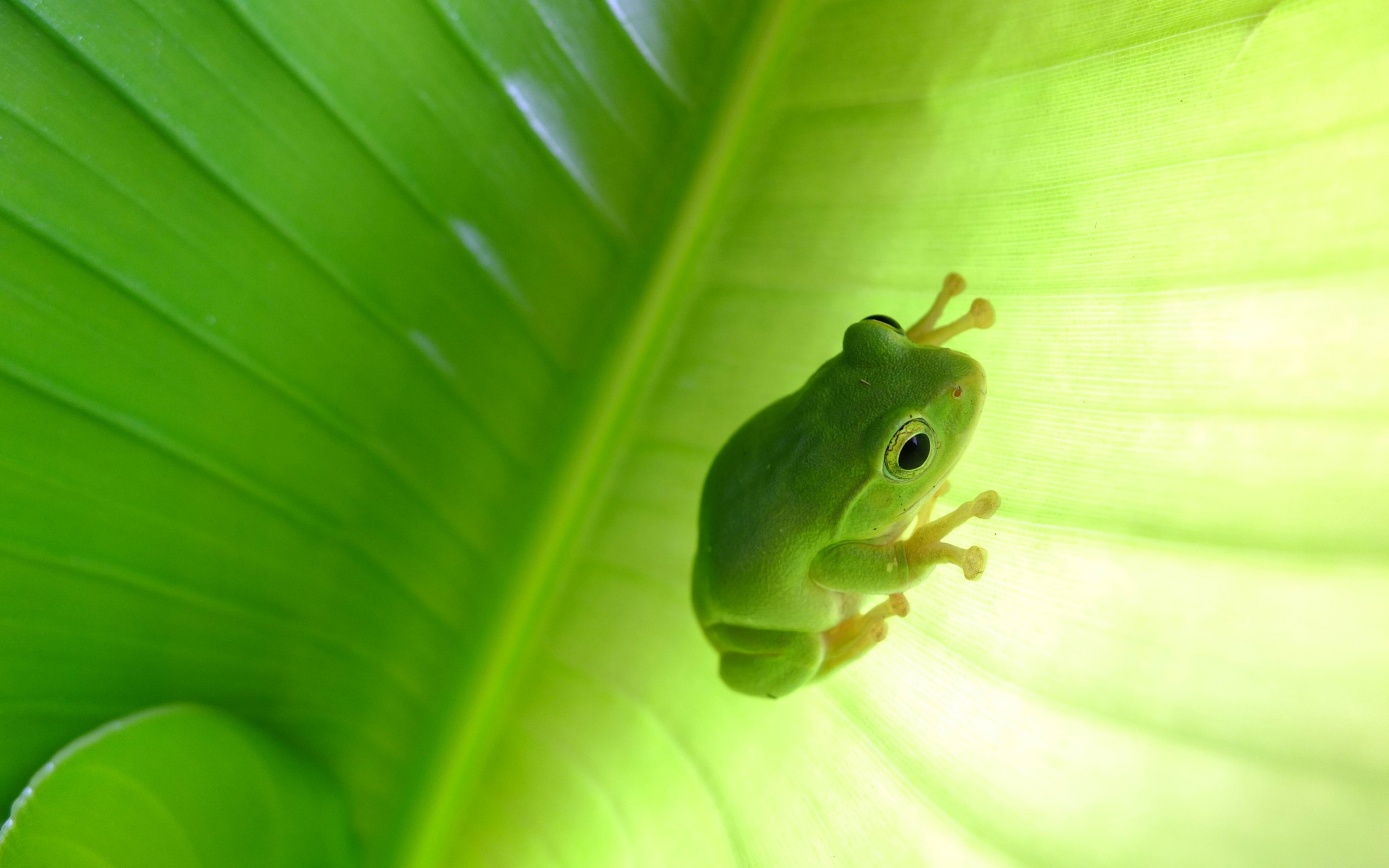 Tree Frog Full HD Wallpaper And Background Image