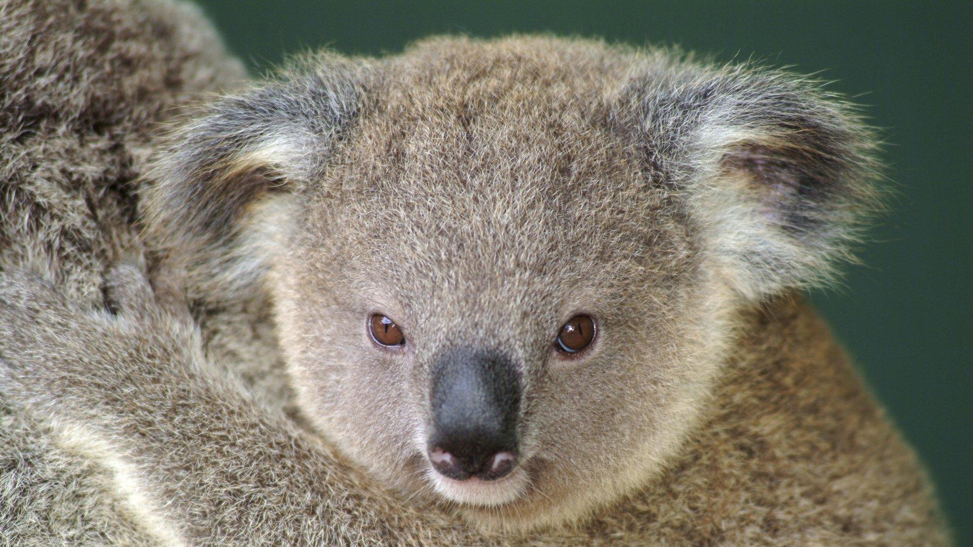Koala Full Hd Wallpaper And Background 1920x1080 Id 431601