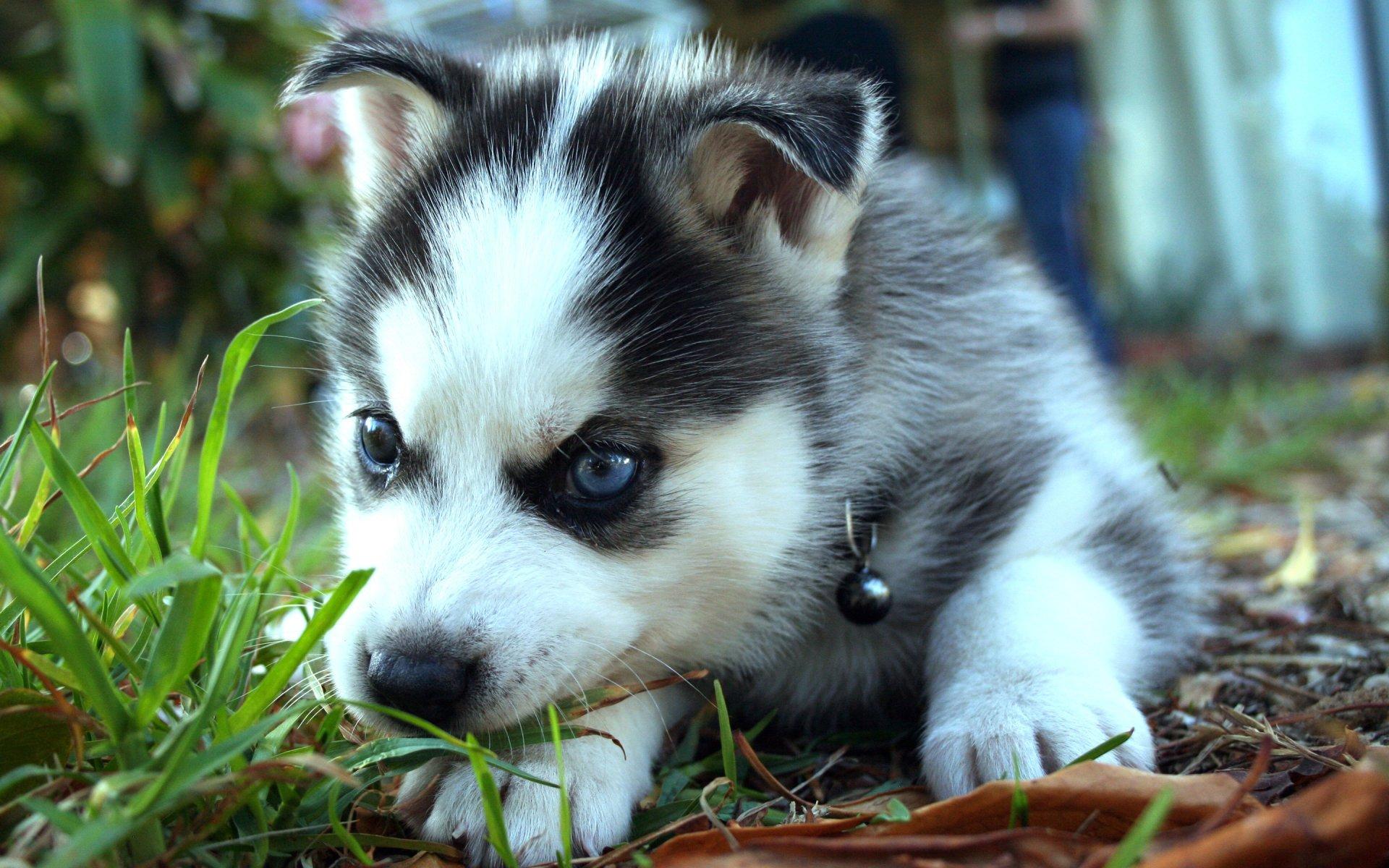 Perros Husky Siberiano Fondos De Pantalla Hd De Animales 2: Husky Siberiano Fondo De Pantalla HD