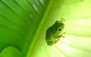Animal - Tree Frog Wallpapers and Backgrounds ID : 431901