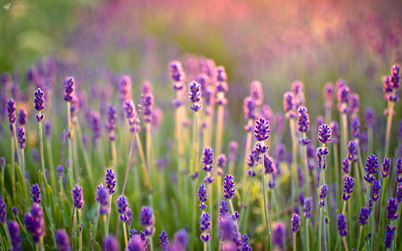 Lavender Wallpaper and Background Image | 1680x1050 | ID ...