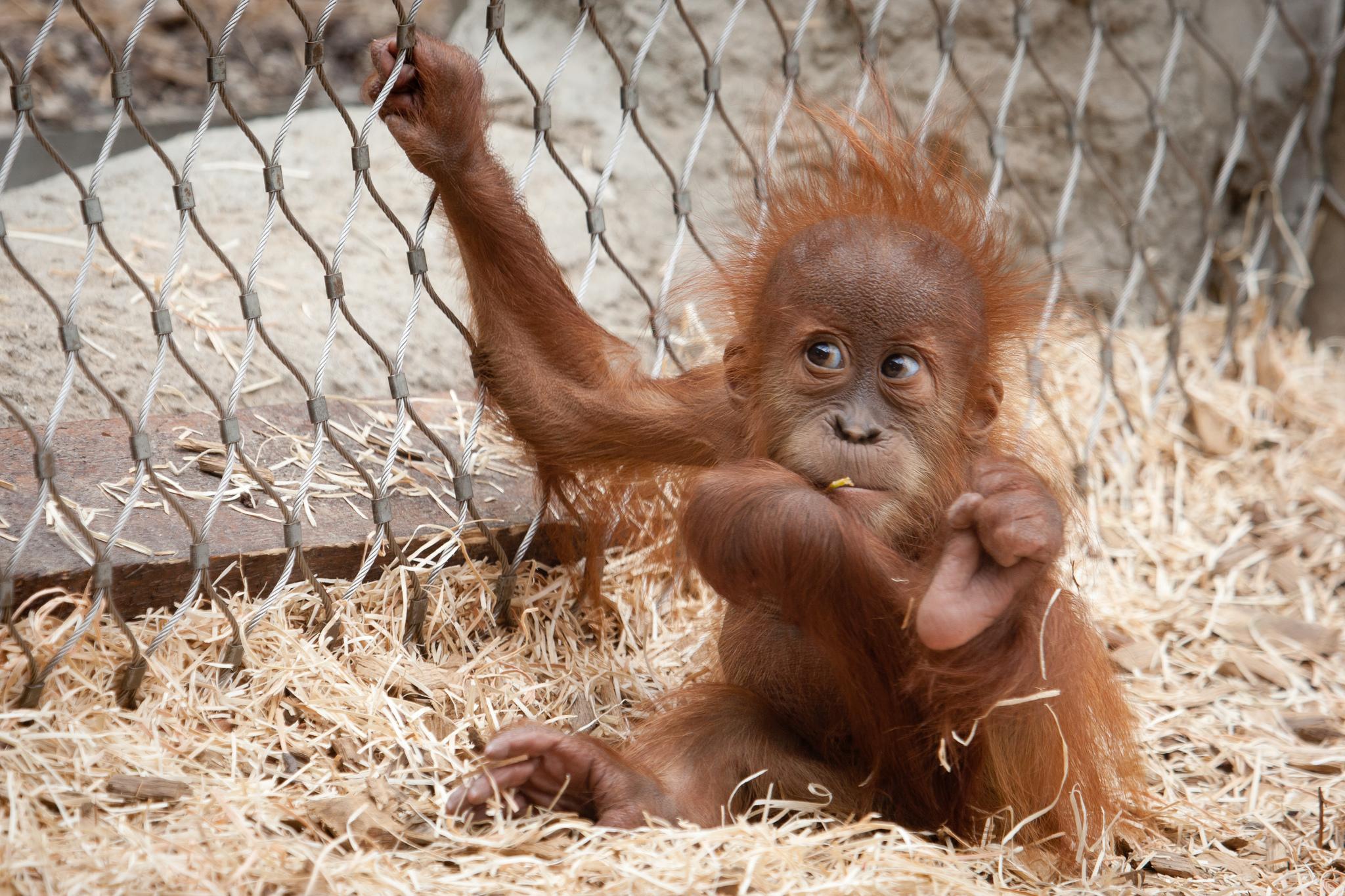 Orangutan Hd Wallpaper Background Image 2048x1365 Id432381