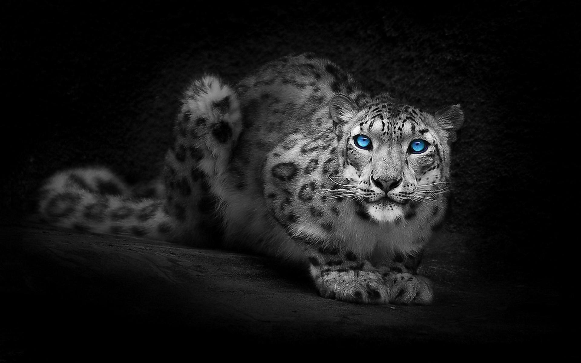 Snow leopard hd wallpaper background image 1920x1200 - Animal black background wallpaper ...