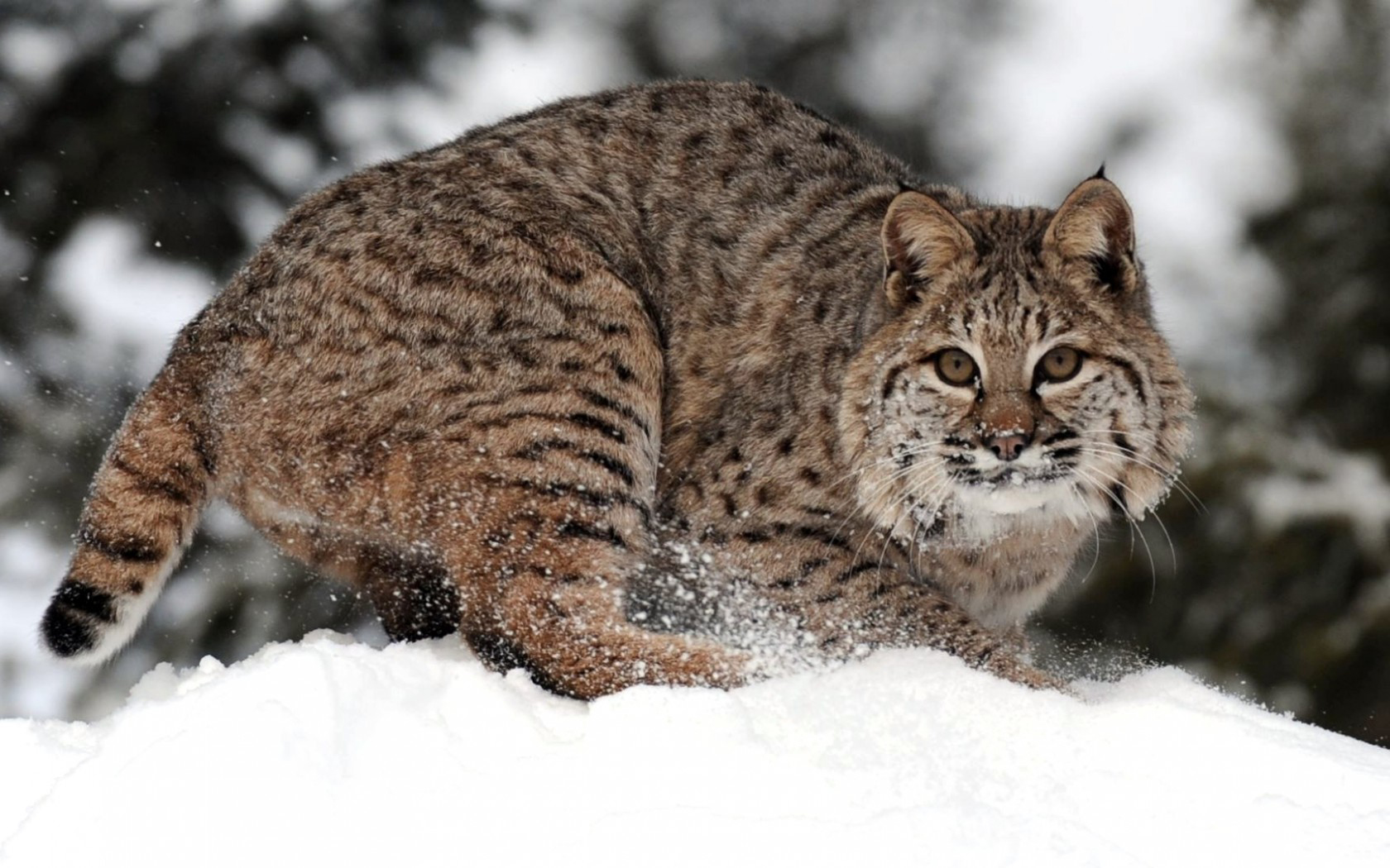 Bobcat Wallpaper and Background | 1680x1050 | ID:432487