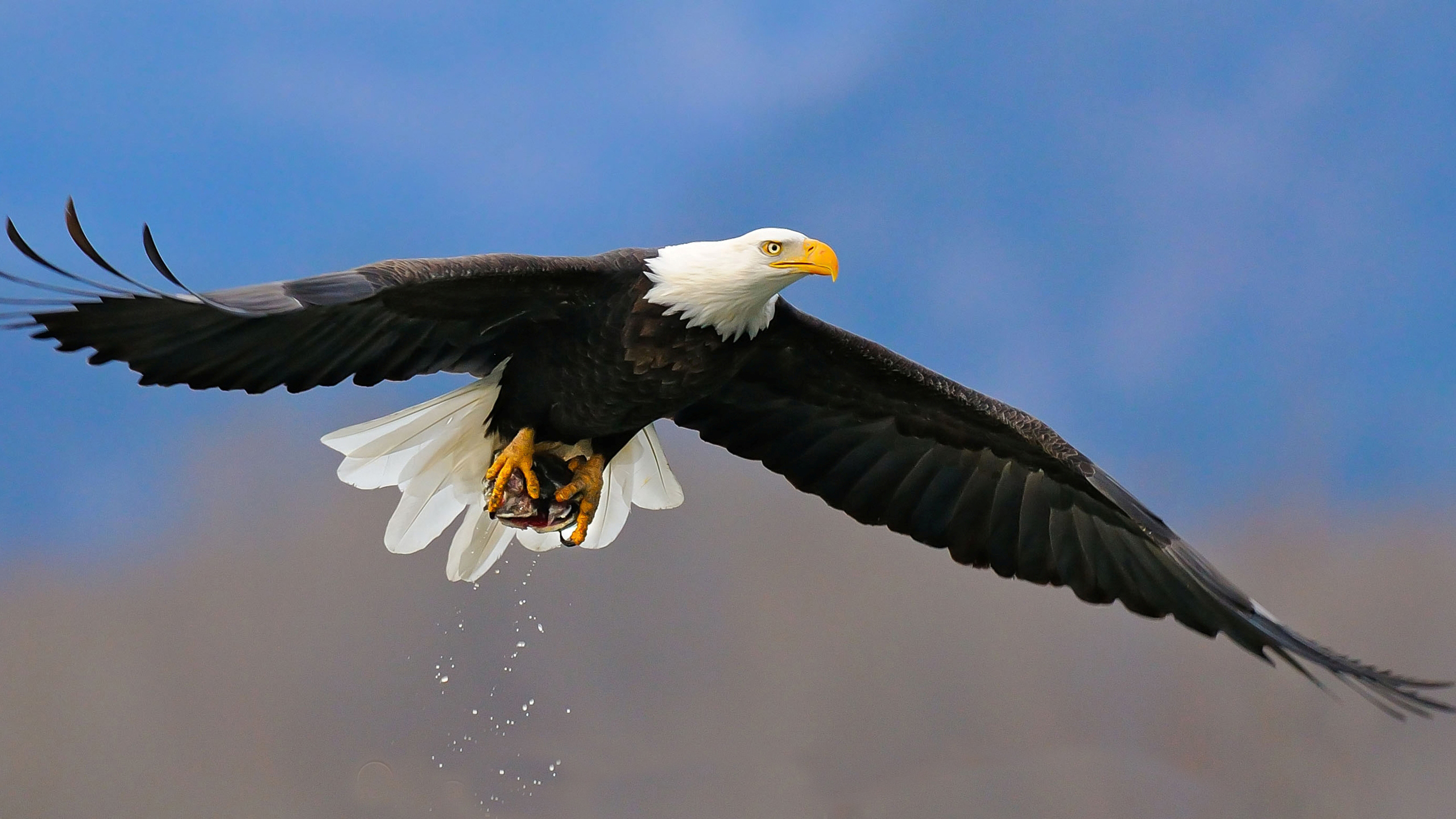 bald eagle hd wallpaper | background image | 2560x1440 | id:432595