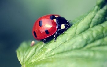 Animal - Ladybug Wallpapers and Backgrounds ID : 432126